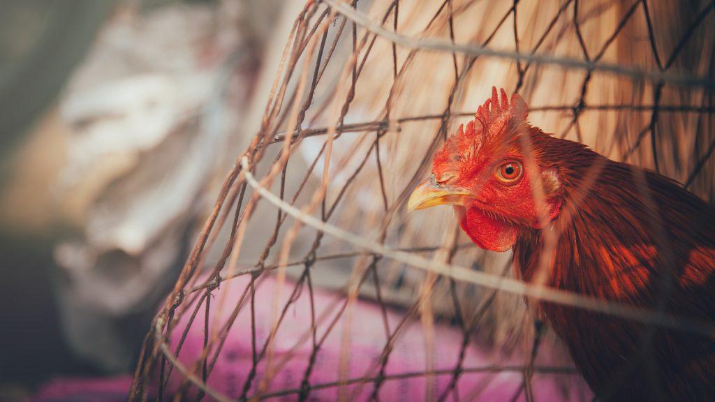Kura domowa w klatce.