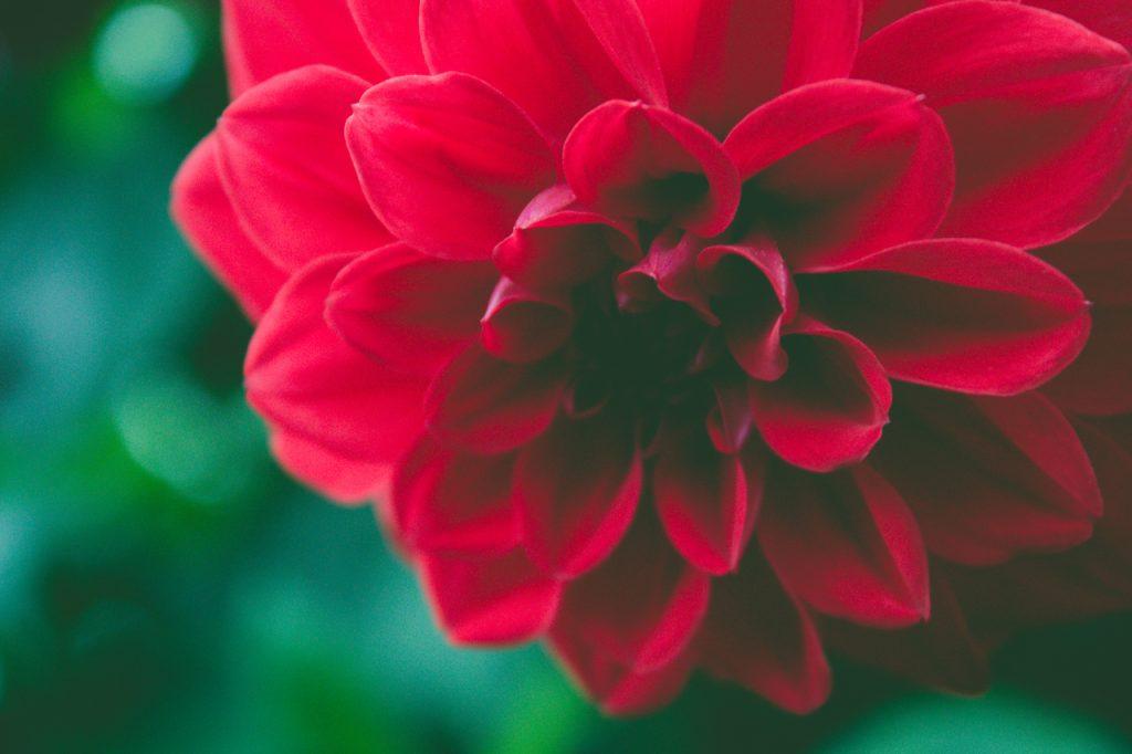 Wolna wysokiej rozdzielczości zdjęcia jesień, tło, piękny, piękno, czarny, kwiat, kwitnąć, botaniczny, botanika, bukiet, jasny, blisko, ścieśniać, zbliżenie, kolor, ciemny, dekoracja, Szczegół, rosa, upuszczać, flora, kwiatowy, kwiat, świeżość, ogród, gerbera, prezent, głowa, wakacje, odosobniony, miłość, makro, ranek, naturalny, Natura, płatek, różowy, roślina, czerwony, romans, romantyczny, Róża, pojedynczy, wiosna, lato, tekstura, w górę, wibrujący, woda, biały, dalia, kwitnienia roślin, Fotografia makro, komputer tapety, łodyga, roślina jednoroczna, rodzina stokrotka, Roślina zielna, magenta